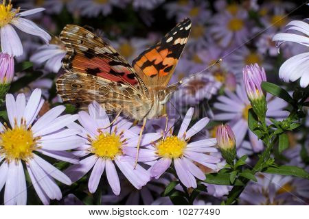 Painted Lady butterfly, Vanessa cardui