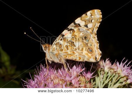 Painted Lady butterfly / Vanessa cardui