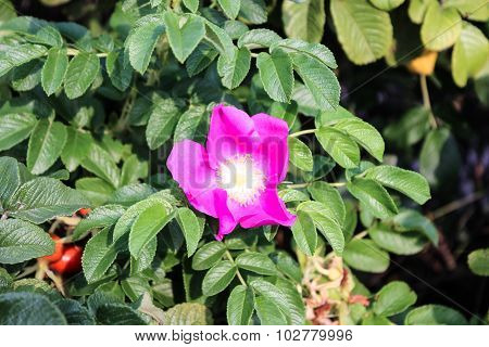 Dogrose bush with brightly pink pink flower
