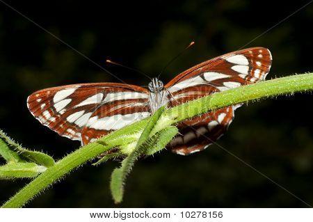common glider ( Neptis sappho )
