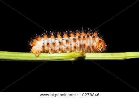 Butterfly Southern Festoon caterpillar / Zerynthia polyxena