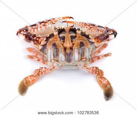 Serra Ted Mud Crab On White Background