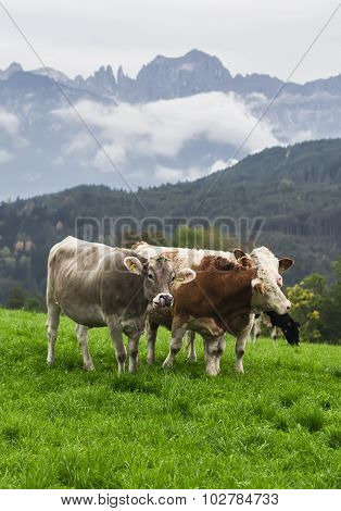Cows On A Green Alpine Meadow, South Tyrol, Italy