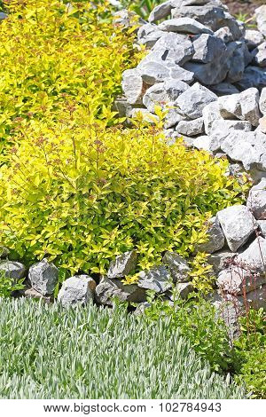 Spiraea japonica Goldflame