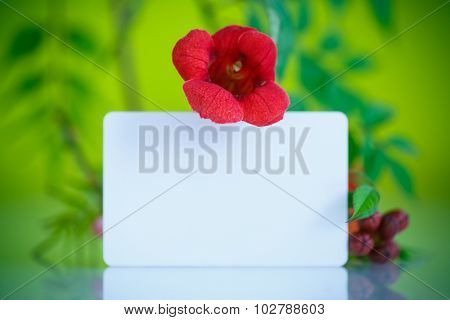 Blooming Red Flower Campsis