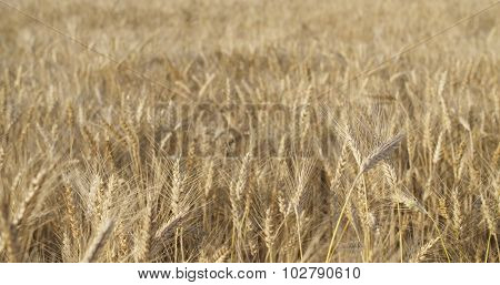 wheat field in august before harvest slow motion