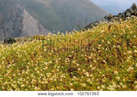 Flowers Mountains White Closeup