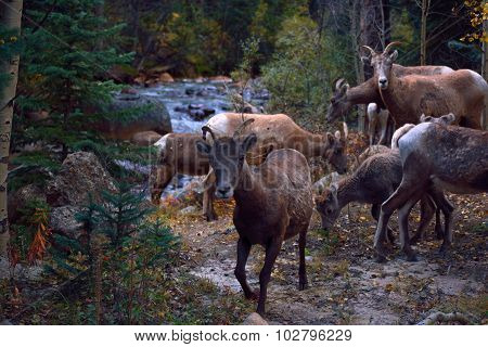 Herd of Mountain Goats by a River in the Mountains