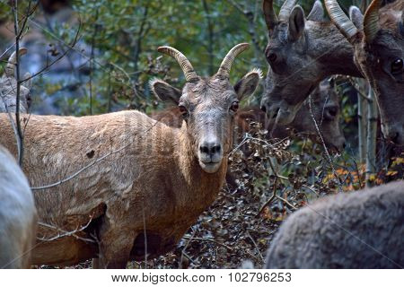 Mountain Goat with Horns in a Herd