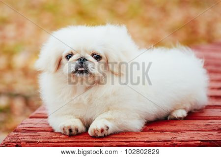 White Pekingese Pekinese Peke Whelp Puppy Dog Sitting On Wooden