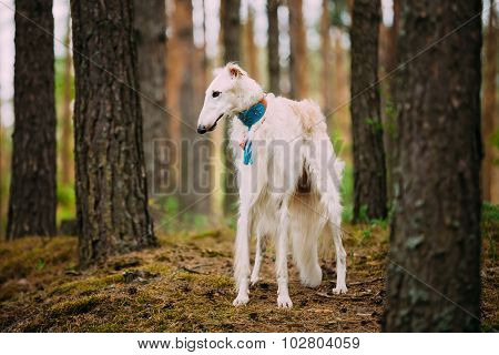 Borzoi, Hunting dog in Spring Summer Forest. These dogs speciali