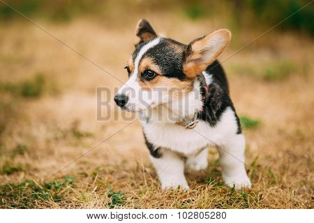 Close up portrait of young Happy puppy Welsh Corgi dog