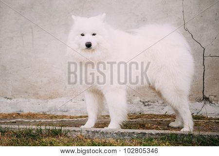 White Samoyed Bjelkier Dog Standing Outdoor on stone wall backgr