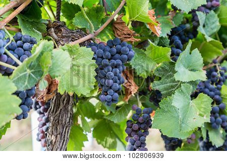 Bunch Of Red Wine Grapes On A Tree At A Vineyard