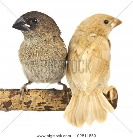 Japanese Finch, isolated on white background. two chicks on a branch