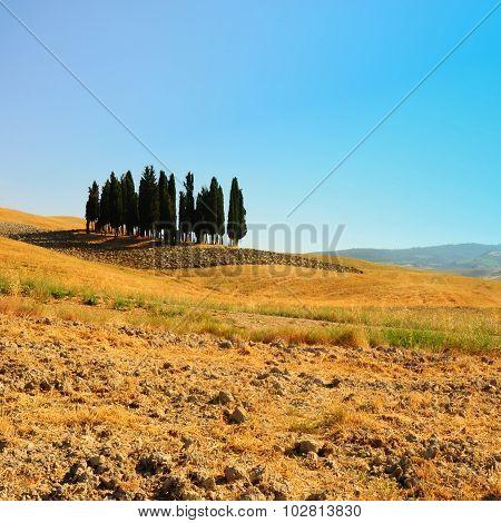 Ornamental Cypress