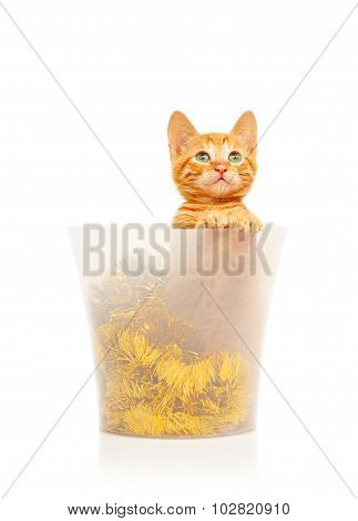 Cute little red kitten sitting in transparent bucket filled with golden tinsel Christmas decoration