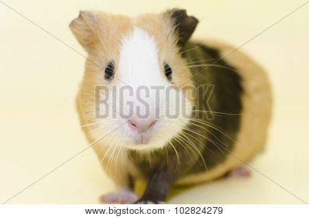 Guinea Pig House Animal On Yellow