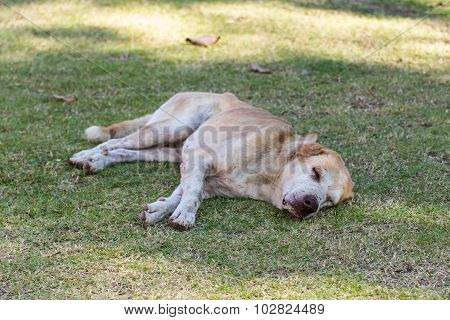 Thai Stray Dog In Lawn
