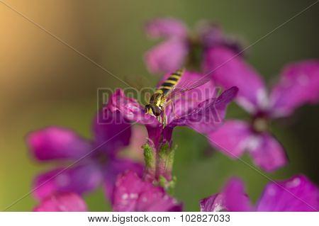 Long Hoverfly (sphaerophoria Scripta) Pollinating Flower