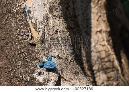 A Male Agama Lizard Sporting A Blue Head For Mating Season