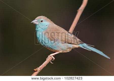 Female Blue Waxbill (uraeginthus Angolensis) Perched On A Branch