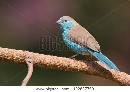 Male Blue Waxbill (uraeginthus Angolensis) Perched On A Branch