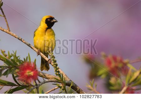 Southern Masked Weaver (ploceus Velatus) Male Perched On Top Of A Bottlebrush Tree