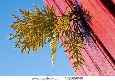Golden Arborvitae Branch Slipped Through The Fence