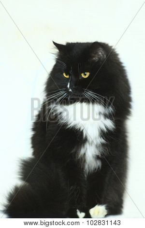 black cat in amazement isolated on the white