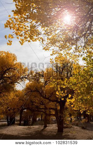 Poplar Trees With Yellow Leaves In Autumn Season,  Ejina, Inner Mongolia, China