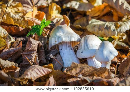 White Toxic Mushrooms, Poisonous Mushroom Or Mushroom Toxicity Growing In Grass Field