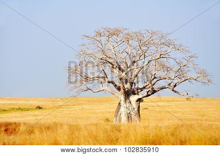 Big Boabab Tree in the Field