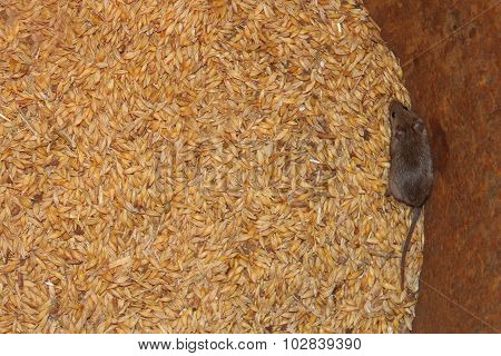 Mouse On The Wheat In The Pantry