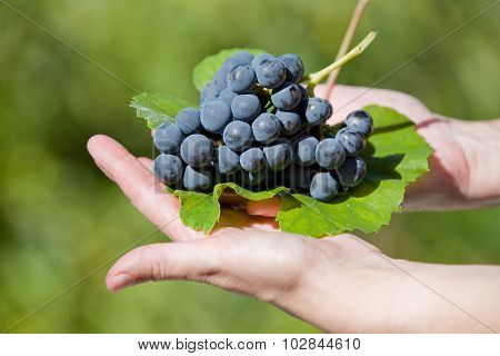 hands holding fresh bunch of grapes in the vineyard