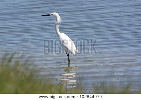 Snowy Egret In A Wetland Pond