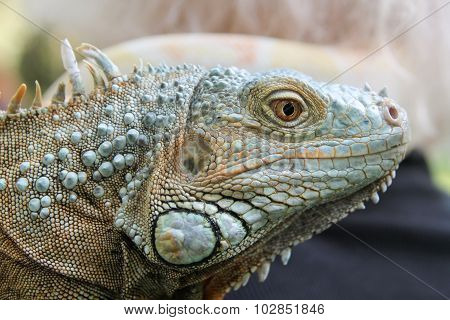 Head of Iguana