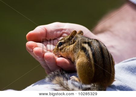 Chipmunk Eats Out Of Hand