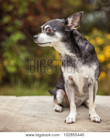 a cute chihuahua outside during summer time