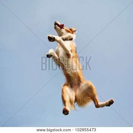 a cute australian shepherd at a local park on a hot sunny day jumping up in the sky