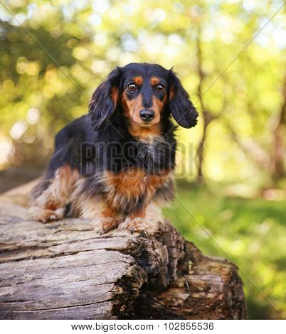 a long haired dachshund looking at the camera in a local park during summer