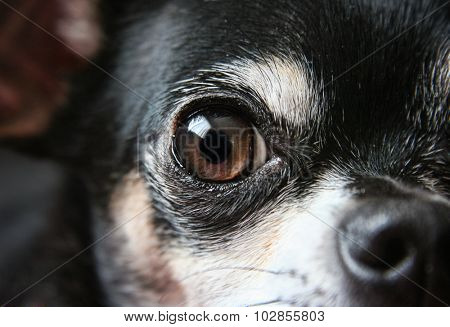 a cute older senior chihuahua close up of his eye