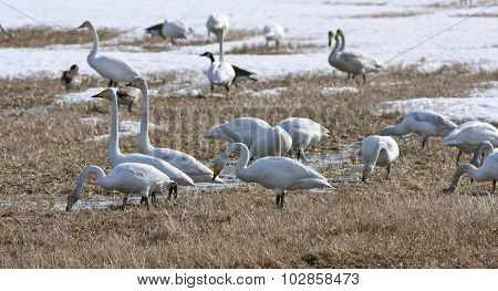 Whooper swan rest, bird migration.