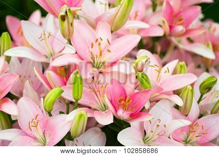 Lots Of Beautiful Pink Lilies