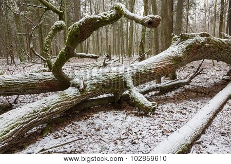 Part Of Old Broken Oak Tree Lying In Winter