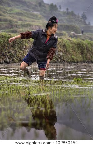 Asian Farmer Woman Walking Barefoot Through Mud Of Rice Fields.