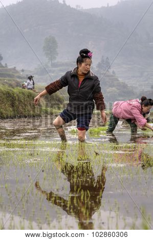Asian Young Farmer Woman Walks Barefoot Through Mud Of Ricefield.