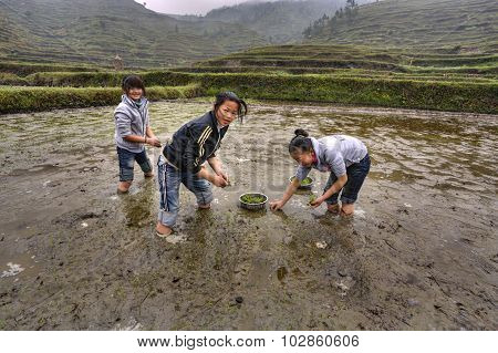 Three Asian Girls Are Busy Planting Rice