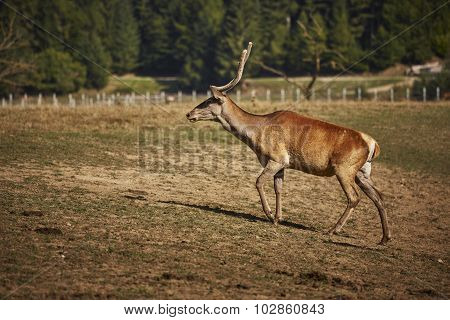 Red Deer Hart