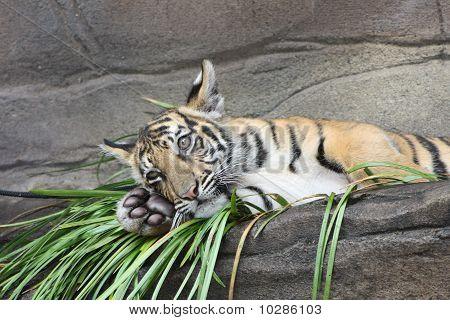 Tiger Posing